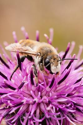 KA_08_1_1491 / Centaurea scabiosa / Fagerknoppurt <br /> Megachile lagopoda / Storbladskjærerbie