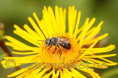 KA_08_1_1493 / Inula salicina / Krattalant <br /> Osmia spinulosa / Kystmurerbie