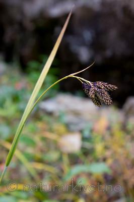 KA_08_1_2123 / Carex atrata / Svartstarr