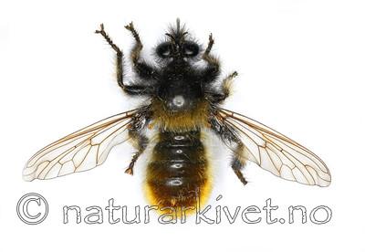 KA_090602_flava_female_dorsal / Laphria flava / Gulhåret rovflue