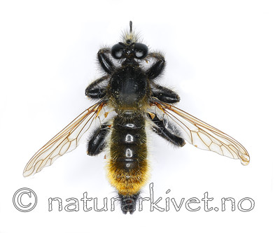 KA_090602_flava_male_dorsal / Laphria flava / Gulhåret rovflue
