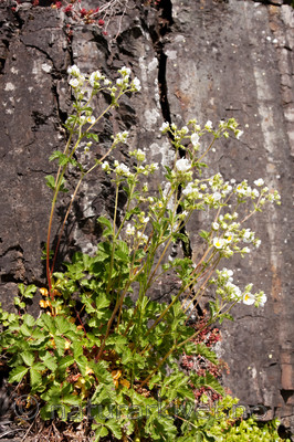 KA_090603_1129 / Drymocallis rupestris / Hvitmure