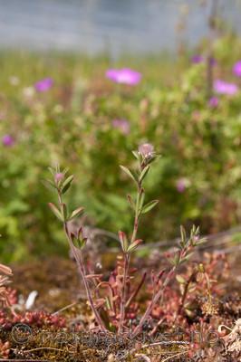 KA_090620_1224 / Trifolium arvense / Harekløver
