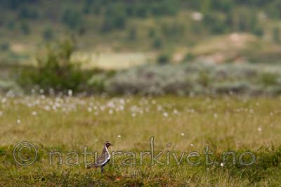 KA_090715_1695 / Pluvialis apricaria / Heilo