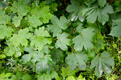 KA_090810_2292 / Acer platanoides / Spisslønn <br /> Acer pseudoplatanus / Platanlønn