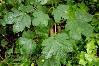 KA_090810_2293 / Acer pseudoplatanus / Platanlønn