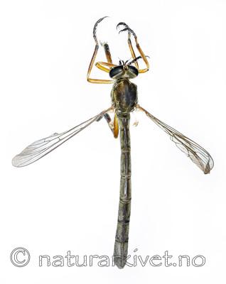 KA_090910_cylindrica_female_dorsal / Leptogaster cylindrica / Lang gressrovflue