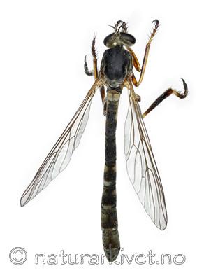 KA_090910_guttiventris_female_dorsal / Leptogaster guttiventris / Flekkgressrovflue