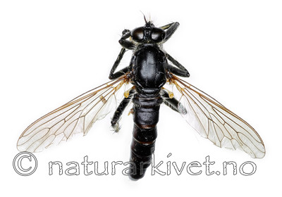 KA_090914_albiceps_female_dorsal / Philonicus albiceps / Sandrovflue