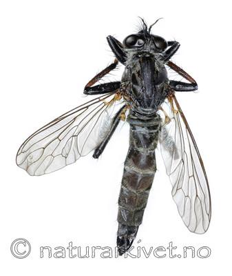 KA_090914_variabilis_female_dorsal / Rhadiurgus variabilis / Dovrerovflue