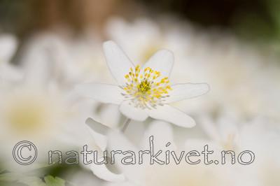 KA_100424_1118 / Anemone nemorosa / Hvitveis