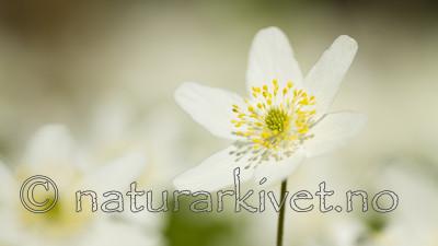 KA_100424_1120 / Anemone nemorosa / Hvitveis