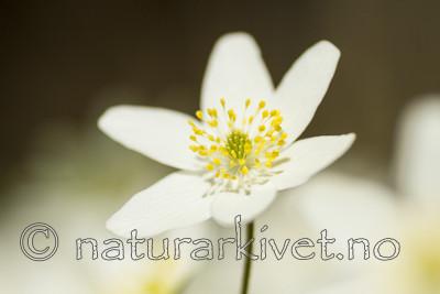 KA_100424_1121 / Anemone nemorosa / Hvitveis