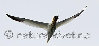 KA_100514_2680 / Morus bassanus / Havsule