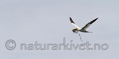 KA_100514_2687 / Morus bassanus / Havsule