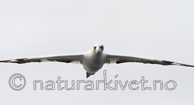KA_100514_2691 / Morus bassanus / Havsule