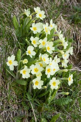 KA_100514_2803 / Primula vulgaris / Kusymre