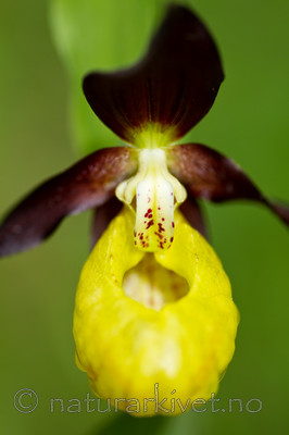 KA_100613_3776 / Cypripedium calceolus / Marisko