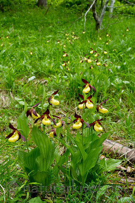 KA_100613_3828 / Cypripedium calceolus / Marisko