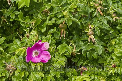 KA_100630_4905 / Rosa rugosa / Rynkerose