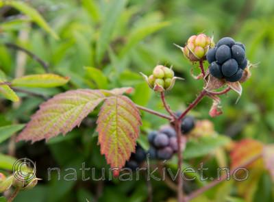 KA_100725_7165 / Rubus caesius / Blåbringebær