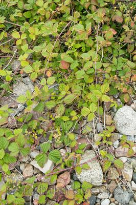 KA_100725_7179 / Rubus caesius / Blåbringebær