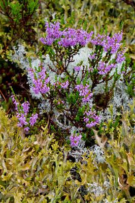 KA_100805_6526 / Calluna vulgaris / Røsslyng <br /> Cetraria islandica / Islandslav