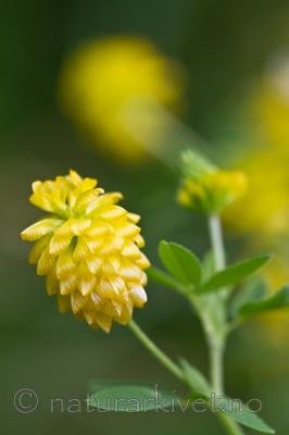 KA_100809_4771 / Trifolium aureum / Gullkløver