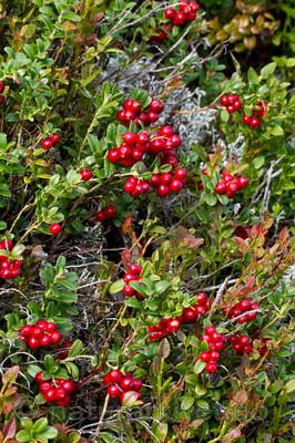 KA_100901_5548 / Vaccinium vitis-idaea / Tyttebær