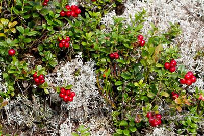 KA_100901_5552 / Vaccinium vitis-idaea / Tyttebær
