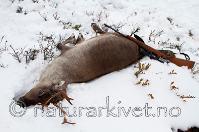 KA_100925_7676 / Rangifer tarandus / Rein