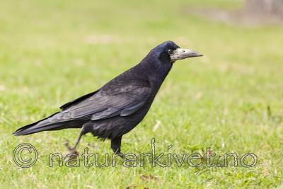 KA_110428_2238 / Corvus frugilegus / Kornkråke