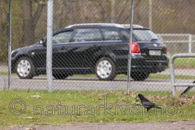 KA_110428_2240 / Corvus frugilegus / Kornkråke