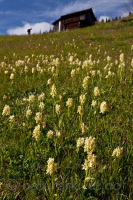 KA_110525_2744 / Dactylorhiza sambucina / Søstermarihand