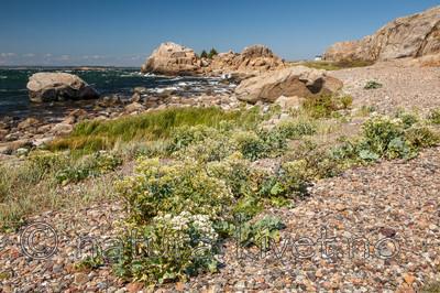KA_110612_2917 / Crambe maritima / Strandkål