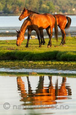KA_110615_3699 / Equus caballus / Hest