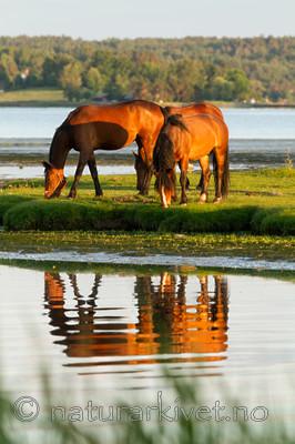 KA_110615_3701 / Equus caballus / Hest