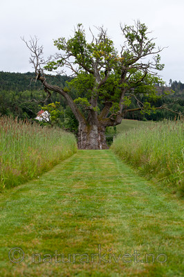 KA_110630_1920 / Quercus robur / Sommereik