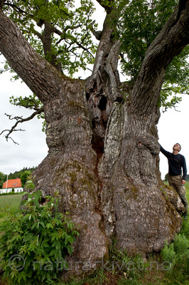 KA_110630_1930 / Quercus robur / Sommereik