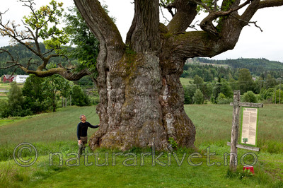 KA_110630_1935 / Quercus robur / Sommereik