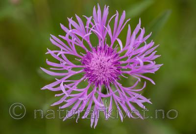 KA_110705_4379 / Centaurea scabiosa / Fagerknoppurt