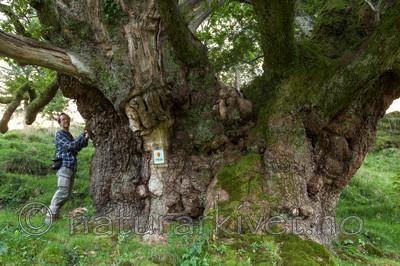 KA_110901_7347 / Quercus robur / Sommereik