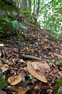 KA_110909_3197 / Cortinarius saporatus / Skrentslørsopp