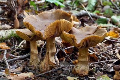 KA_110912_3235 / Cortinarius cotoneus / Hasselslørsopp