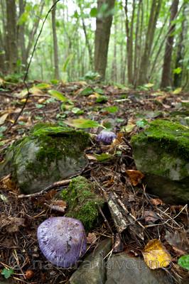 KA_110912_3241 / Cortinarius eucaeruleus / Indigoslørsopp <br /> Cortinarius terpsichores