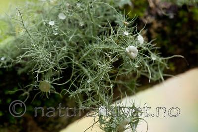 KA_110919_3485 / Usnea florida / Blomsterstry