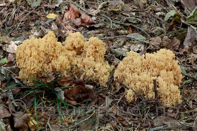 KA_110923_3744 / Ramaria flavescens / Stor korallsopp