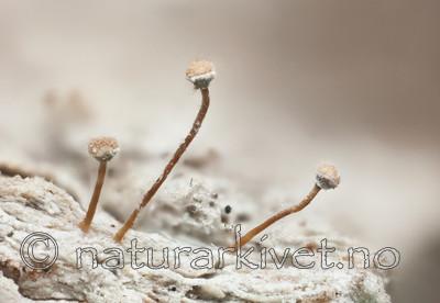 KA_111221_farinacea / Sclerophora farinacea / Blådoggnål