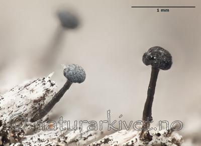 KA_111227_fennica_mm / Chaenothecopsis fennica