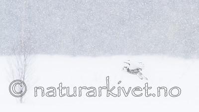 KA_120322_0268 / Bubo scandiacus / Snøugle